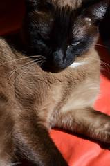 Danna (cabenedet) Tags: cat gato gata felino siams