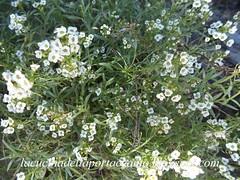 DSC01933 (lacucinadellaportaccanto) Tags: verde bouquet fiori bianchi giardino bosco selvatico cespuglio fiorellini piccoli timidi parcp
