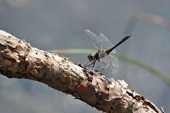 Black Darter - male (Dragonwings55) Tags: dragonflies odonata blackdarter sympetrumdanae