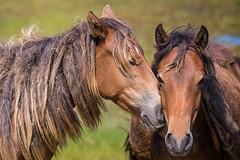 Saying Hello (jeff_a_goldberg) Tags: horse canada novascotia nationalgeographic wildhorse parkscanada sableisland feralhorse fishermansharbour sableislandhorse sableislandpony sableislandnationalparkreserve