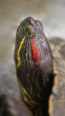 Turtle Head (Jenningspony78) Tags: light red pet white motion cute scale nature wet water animal swim foot pattern desert head turtle reptile background wildlife profile hard tortoise shell dry running ear tropical slider shield concept aquatic trachemys creature protection laziness isolated elegans scripta redeared