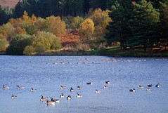 Autumn at Cod Beck Reservoir-3 (Kev's.Pix) Tags: autumn water geese country reservoir autumncolours northyorkshire canadageese countryscene greylaggeese codbeckreservoir