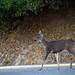 Early Morning Deer in Santa Teresa County Park