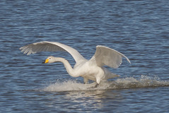 Whooper arriving now-8462 EXPLORED (WendyCoops224) Tags: canon eos swan landing explore wwt arriving welney whooper 600d fligt explored autumnwatch 100400mml