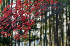 momiji_2013_12 (jam343) Tags: autumn winter red tree fall leaves leaf bamboo foliage momiji 紅葉 90mm 松殿山荘