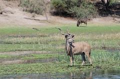 Groer Kudu / Greater Kudu (brainstorm1984) Tags: wildlife safari botswana greaterkudu makgadikgadi tragelaphusstrepsiceros botsuana makgadikgadipansnationalpark leroolatau nordwest groserkudu desertdeltasafaris makgadikgadipansgamereserve groerkudu elangeniafricanadventures