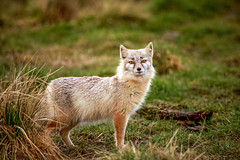 corsac fox (Brett Terry) Tags: zoo wildlife fox wo corsacfox corsac brettterry vision:mountain=0545 vision:outdoor=092