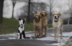 Before the Storm (Rainfire Photography) Tags: park winter dog snow cold ice dogs puppy golden collie walk border retriever trinity bailey karma bandit impressedbeauty