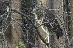 Black-crowned Night-Heron - Juvenile (Bob Gunderson) Tags: sanfrancisco california birds northerncalifornia palaceoffinearts blackcrownednightheron nycticoraxnycticorax