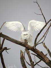 (Sarah-Vie) Tags: img harfangdesneiges 0749 oiseauxduqubec