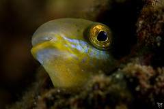 brown sabretooth blenny (AlistairKiwi) Tags: brown fish macro gardens bay underwater bokeh sydney australia diving nsw lupus clifton chowder fins underwaterphotography blenny canonefs60mmmacro sabretooth themacrogroup canoneos7d petroscirtes