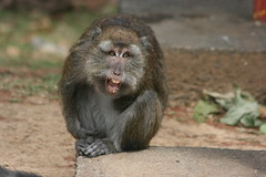 Grumpy Ongoy (redchillihead) Tags: philippines ongoy monkey subic bay 2014 holiday filipino tourists warren smart virginia winder