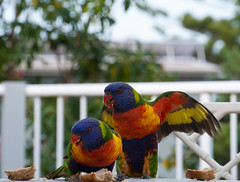 Rainbow Lorikeets (screenstreet) Tags: birds breakfast catchycolors rainbowlorikeet dalmeny colorefexpro nikon1v1