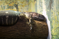 "Monitor Lizard 04 • <a style=""font-size:0.8em;"" href=""http://www.flickr.com/photos/30765416@N06/12159710475/"" target=""_blank"">View on Flickr</a>"