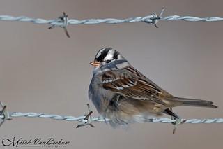 Jail Bird (White-crowned Sparrow)