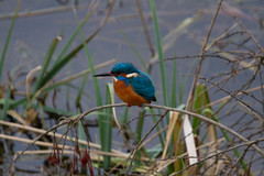 "Kingfisher • <a style=""font-size:0.8em;"" href=""http://www.flickr.com/photos/53908815@N02/12276432154/"" target=""_blank"">View on Flickr</a>"