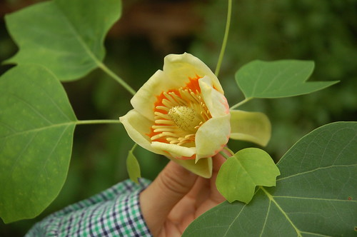 "Tulip Poplar Flower <a style=""margin-left:10px; font-size:0.8em;"" href=""http://www.flickr.com/photos/91915217@N00/12355914075/"" target=""_blank"">@flickr</a>"