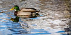 Duck in Sunlight (DanCaD69) Tags: bird water duck waterbird