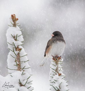 Dark-eyed Junco during the Storm