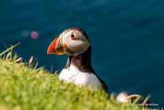 Hermeness, Unst 09 (SallyAnnespics) Tags: blue colour scotland cliffs puffins shetland unst seasky hermeness