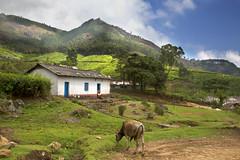 Tea Plant Town Munnar, Kerela
