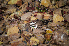 Little Momma (© S. D. 2010 Photography) Tags: color bird contrast photoshop altered spring high rocks bright 5 killdeer stripes small rich feathers mother vivid adobe american camouflage eggs enhanced momma detailed lightroom
