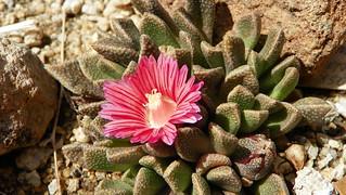 Aloinopsis spathulata hybrid 100_0028