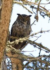 great-horned owl (minicooper93402) Tags: california adult morrobay sanluisobispo greathornedowl