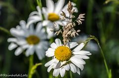 1000 & 2500 (Reinhold.Lotz) Tags: deutschland hessen natur pflanzen kirtorf margeritenleucanthemum