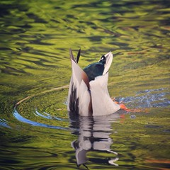Still giggling (liquidnight) Tags: camera water birds animals oregon swimming portland duck spring nikon lol wildlife birding ducks rump urbanwildlife pdx laurelhurst ripples drake waterfowl birdwatching anasplatyrhynchos crystalspringsrhododendrongarden tailfeathers mallardduck d90 instagram