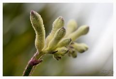 Kangeroospaw 001 (CORNISHBOY2009) Tags: flower westernaustralia anigozanthos kangaroopaws haemodoraceae liliopsida magnoliophyta commelinales sunnyposition welldrainedsoils