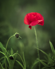 Splash of red (Eduard Moldoveanu Photography) Tags: red wild summer plant flower green nature beautiful field closeup season landscape botanical countryside stem flora natural blossom background seed single poppy agriculture wildflower horticulture poppyseed herb herbal blooming poppyhead
