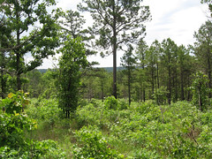 Trees in Oklahoma (USDAgov) Tags: oklahoma forestry restoration arkansas forests grants fs wildfire invasivespecies invasivepests