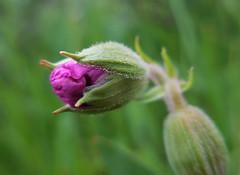 from her dower.... (gebodogs) Tags: dewdrops poetry poem wyoming wildflower blooming waac