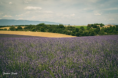 Lavender Field (Patrice Fauré) Tags: 04 sony lavender paca provence lavande southoffrance alpesdehauteprovence hauteprovence plateaudevalensole macro50mmf28 sonya57