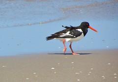 In a hurry... (Elisa1880) Tags: sea beach netherlands strand den nederland zee hague oystercatcher haag eurasian the kijkduin scholekster haematopus ostralegus
