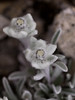Leontopodium nivale (Eugene Nature Observer) Tags: italy plant flower flora italia fiori abruzzo leontopodium nivale montecamicia