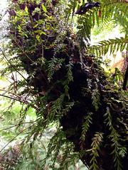 Small Fork Fern (Tmesipteris parva) Upper Yarra, Victoria, Australia (Adam759) Tags: psilotaceae arfp tmesipteris vrfp arffern cooltemperatearf tmesipterisparva smallforkfern