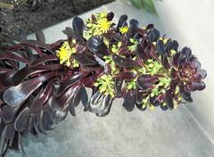 Aeonium arboreum (haymarketrebel) Tags: california streetscene outdoor plant flowers succulent aeoniumarboreum