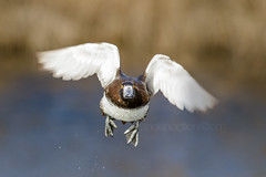 Determination (shaftina©tion) Tags: aythyafuligula reedbed tuftedduckaythyafuligula wetlands avian bird divingduck duck feathers flight flying front frontview frontal inflight male onthewing reeds shaftinactioncom small takingoff tufted view water wildfowl