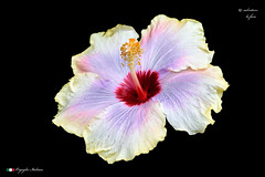 I COLORI DELLA NATURA.   in explore ! (Salvatore Lo Faro) Tags: fiore fiori flower natura bellezza bianco rosso giallo violetto amaranto tropicale hibiscus pianta salvatore lofaro nikon 7200