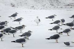 Standing out (aleadam) Tags: seagull gaviota snow nieve individual different diferente 7dwf aleadam alejandroadam