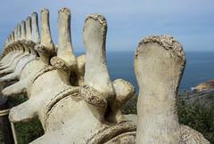 Whale Vertebrae (danielledufour430) Tags: california sandiego pointloma whale whalebones spine vertebrae anatomy depthoffield sonya6000