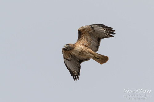 Red-tailed Hawk flyover