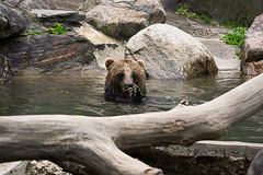 Brown Bear in the water (NJtree) Tags: bear new york brown animals zoo bronx sony conservation peacock a33 society lightroom widlife