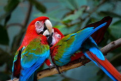 Love is in the air (AnotherSaru - Off and on for a few weeks) Tags: bird birds holding kiss kissing pair parrot macaw avian redandgreenmacaw cuople
