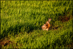 Bigfoot (Jonas Thomn) Tags: field grass animal evening lowlight hare ker djur grs kvll slpljus