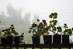 Window Dressing (bhodaporel) Tags: trees mist mountain plant flower fog balcony