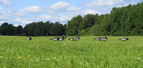 """Barnacle Goose • <a style=""""font-size:0.8em;"""" href=""""http://www.flickr.com/photos/43628998@N05/9175394424/"""" target=""""_blank"""">View on Flickr</a>"""