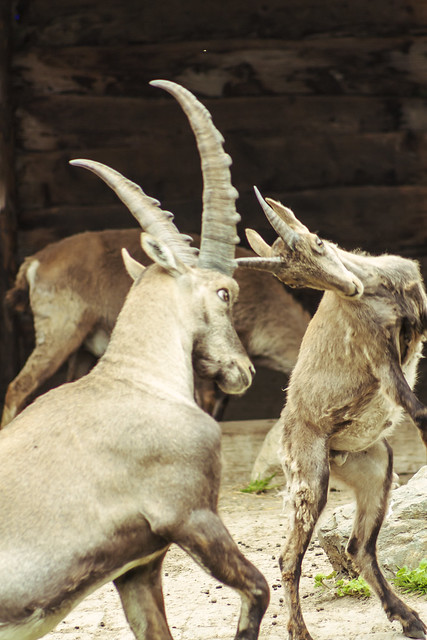 ibexes fighting